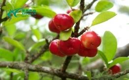 针叶樱桃提取物